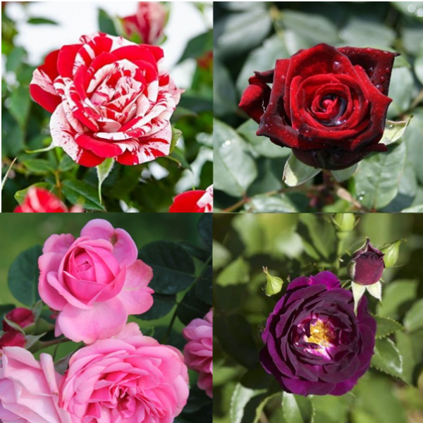 Rose Plant Pack (Pack of 6 Colors)