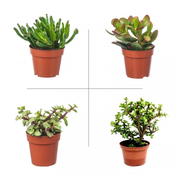 Crassula Plant Pack (Pack of 4 Varieties)