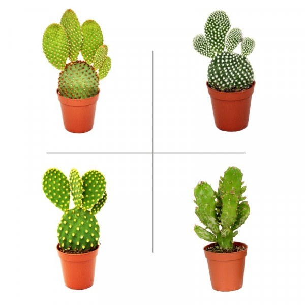 Opuntia Plant Pack (Pack of 4 Varieties) - Bunny Ear Cactus