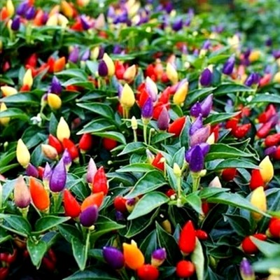 Omaxe Chilli Ornamental Mixed Seeds (30 seeds)