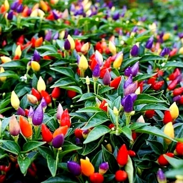 Omaxe Chilli Ornamental Choice Mixed Seeds (30 seeds)