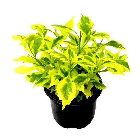Duranta Buy Duranta Online At Best Price On Plantsguru Com