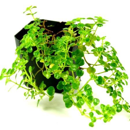 Shrubs buy shrubs online at best price on for Baby fern plant