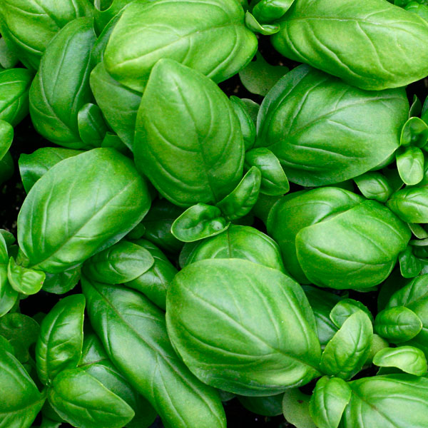16 Foods That Will Re Grow From Kitchen Scraps: Buy Holy Basil Rama Tulsi Seeds Online At Cheap Price