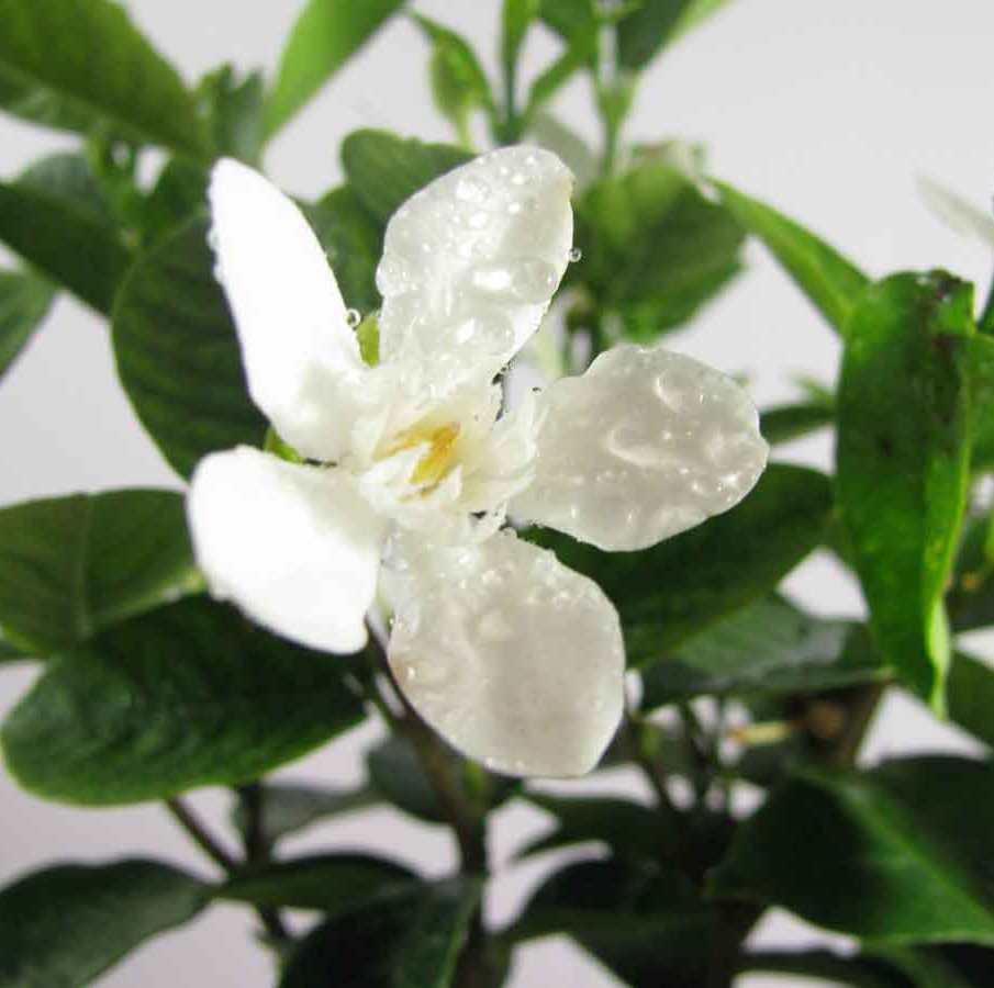 Tagar Plant Buy Tagar Plant Online At Best Price On Plantsguru