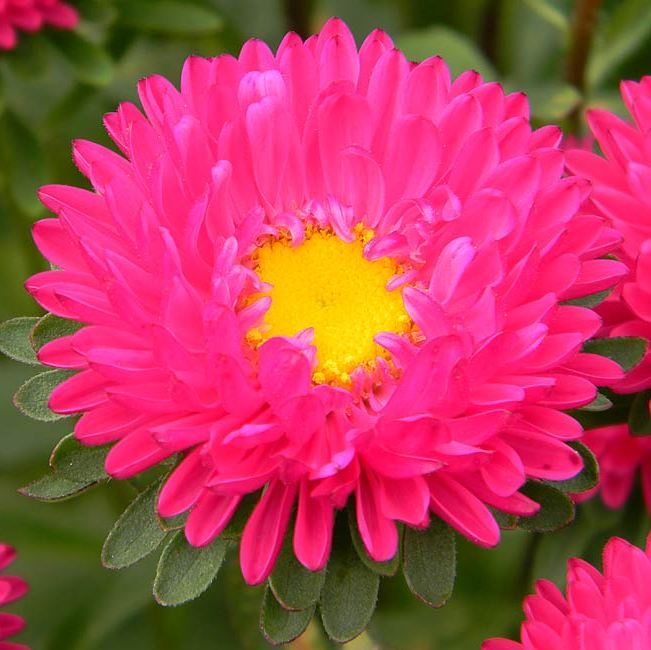 aster plant  buy aster plant online at best price on plantsguru, Beautiful flower